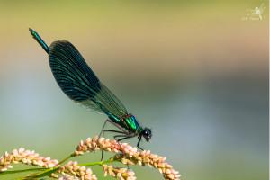 motýlice web